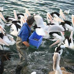 beim Pelikanfüttern