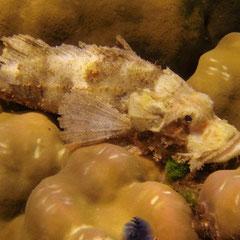 Steinfisch - die sollen sehr giftig sein