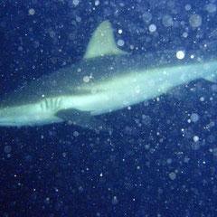Hai beim Nachttauchgang