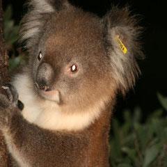 unsere ersten Koalas im Tower Hill National Park