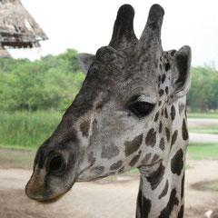 beim Giraffen füttern