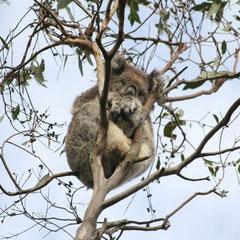 Koala bei seiner zweitliebsten Beschäftigung