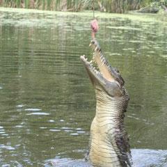 Pfeilschnell sprangen die Krokodile aus dem Wasser