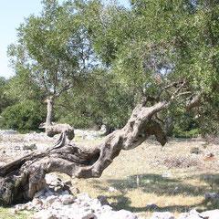 uralte Olivenbäume am Wege