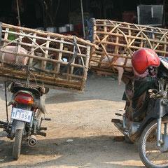 """dann sahen wir endlich die """"Schweinetransporte"""" wie sie in Kambodscha üblich sind"""