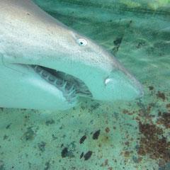 ein Hai im Becken in dem ich beim Haitauchen war