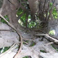 ein Uralter Baum der innen hohl war