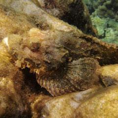 Steinfisch.Die sollen sehr giftig sein