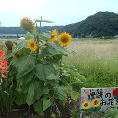 上寺地みどりの会の遺跡のお花畑