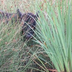 veau black angus dans végétation à la ferme de la millanchère