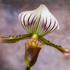 Bernard : Orchidées Vergèze 2