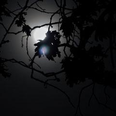 Ian : Pleine lune et le Quercus alba