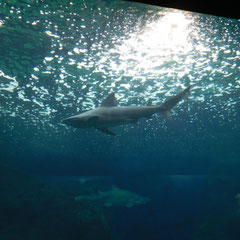 Hai, Aquarium, Kreta