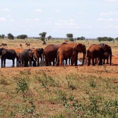 Elefantenherde, Ngutuni Logde, Taita Hills, Tsavo-Nationalpark,  Kenia, Afrika
