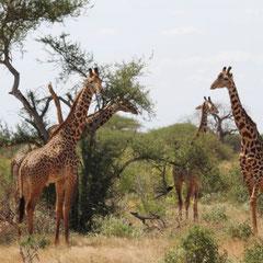 Giraffen, Ngutuni Logde, Taita Hills, Tsavo-Nationalpark,  Kenia, Afrika