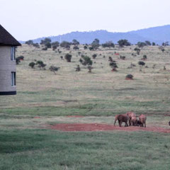 Elefanten direkt am Hotel Sarova Salt Lick Game Lodge, Tsavo West, Kenia, Afrika