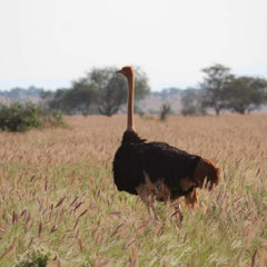 Strauß, Tsavo-Nationalpark, Kenia, Afrika