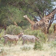 Zebras und Giraffen, Ngutuni Logde, Taita Hills, Tsavo-Nationalpark,  Kenia, Afrika