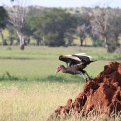 Vogel, Masai Mara Nationalpark,  Kenia, Afrika