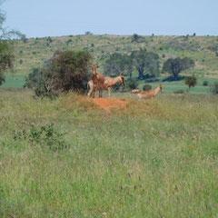 Masai Mara Nationalpark,  Kenia, Afrika
