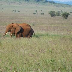 Elefanten, Masai Mara Nationalpark,  Kenia, Afrika