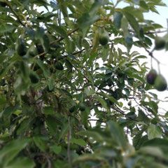 Olivenbaum, Agreco Farm, Kreta