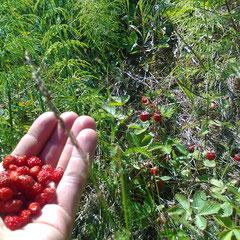 wilde Erdbeeren über hunderte Meter am Straßenrand, so lecker!