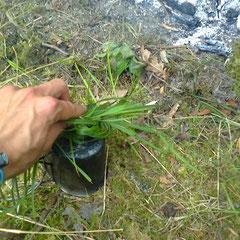 Ruß vom Topf zu wischen geht mit einem Grasbüschel ganz gut (Silikateinlagerungen in den Blättern von Gräsern wirken wie kleine Schleifsteine)
