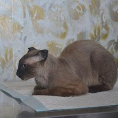 представитель редкой породы украинский левкой Барон перед операцией