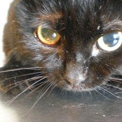 кот Челси 9 лет сразу после операции по удалению аденомы железы третьего века