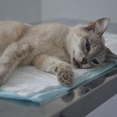 кошка Тая 15 лет, осложнение родов, после экстренной операции