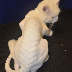 креативная стрижка кошек
