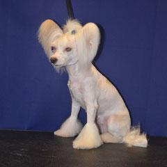 китайская хохлатая собачка Бетти