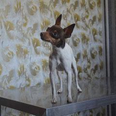 представительница редкой породы той фокстерьер Мика на приеме у ветеринарного врача