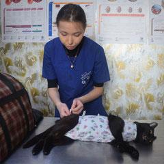 Стерилизация кошки. Выполнен внутрикожный шов.