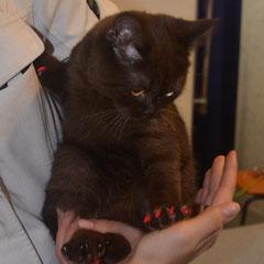"""котенок Сникерс с любопытством осматривает свой новый """"маникюр"""". Антицарапки- прекрасная альтернатива операции по удалению когтей. Это безопасная и безболезненная процедура."""