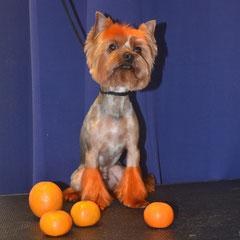 йоркширский терьер окрашивание профессиональными красками для собак