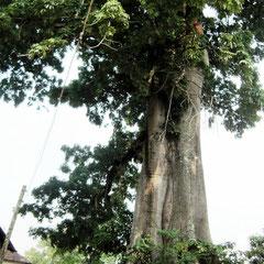 alter Baumwoll-Baum
