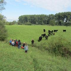 Neugierige Rinder - aufmerksame Kinder