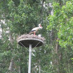 Storch mit Jungen - wurde mehrfach gesehen!