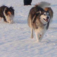 Schlittenhund jagen macht auch Spaß!!