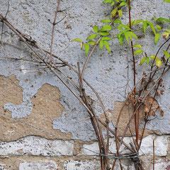 Efeuentfernung, Efeu von Fassade entfernen