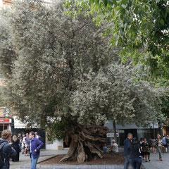 Der älteste Olivenbaum (ca. 1000 Jahre)