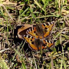 Daniel Grlj. Frühlingsgefühle bei zwei Schmetterlingen (Kleiner Fuchs) in Utzigen, 21. Februar.