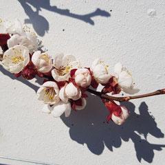 Robert Etter, Aprikosenblüten, Toffen 20. März.