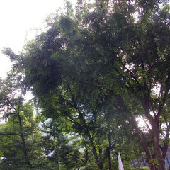 この木のおかげ**