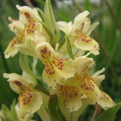 Dactylorhiza sambuccina - Orchis sureau