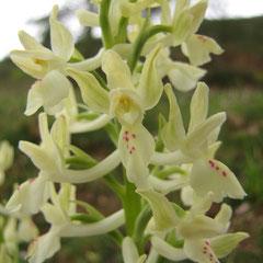 Orchis provincialis - Orchis de provence
