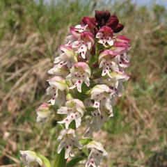 Neotinea ustulata - orchis brûlé