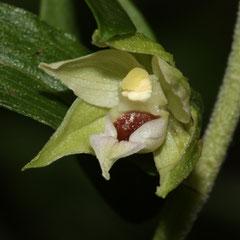 Epipactis muelleri - Epipactis de Muller